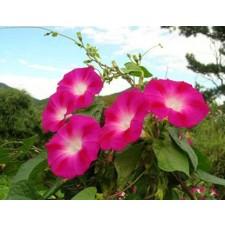 나팔꽃 일반종 혼합 L(840g)
