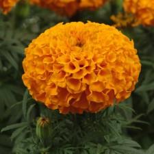 메리골드 잉카 오렌지 1ml