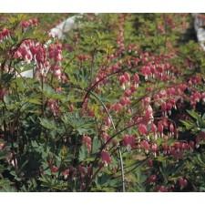 금낭화 야생종 분홍 20s