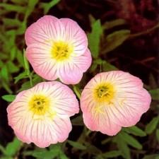 낮달맞이 PinkPetticoats 핑크 0.01g