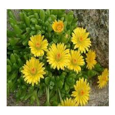 송엽국 골덴너겟 노랑색 20립