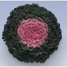 꽃양배추 카모메 핑크 50s