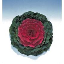 꽃양배추 피젼 레드 50s