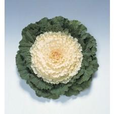 꽃양배추 피젼 화이트 50s