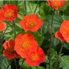 꽃뱀무 코이 오렌지 10s